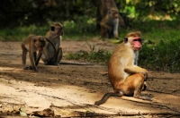 Toque macaque (Macaca sinica), Yala NP