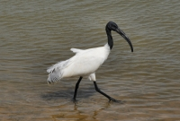 Black-headed Ibis (Threskiornis melanocephalus), Yala NP