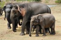 Elephas maximus, Yala NP