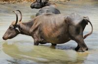Wild water buffalo (Bubalus arnee), Yala NP