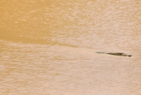 Crocodylus palustris, Yala NP