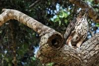 Crested Hawk-eagle (Nisaetus limnaetus), Yala NP