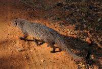 Indian grey mongoose (Herpestes edwardsii), Yala NP
