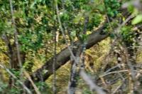 Glance at leopard (Panthera pardus kotiya), Yala NP