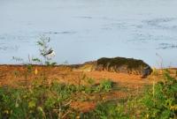 Crocodylus palustris, Yala NP