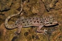 Hemidactylus brookii, Tissamaharama