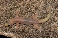 Four-clawed gecko (Gehyra mutilata), Ella