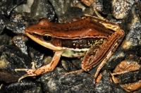 Gravenhorst's frog (Hylarana gracilis), Ella
