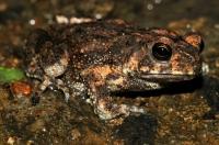 Duttaphrynus melanostictus, Ella