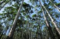 Rubber plantation, Ella