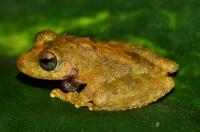Pseudophilautus sp., Ella