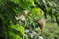 Indian Pond Heron (Ardeola grayii), Kandy
