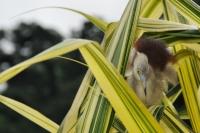 Ardeola grayii, Kandy
