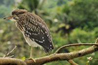 Nycticorax nycticorax, Kandy