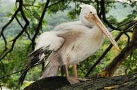 Pelicanus philippinus, Kandy