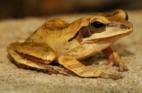 Common Indian tree frog (Polypedates maculatus), Dambulla
