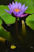 Nymphaea nouchali, the national flower of Sri Lanka
