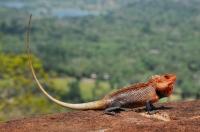 Calotes cf. versicolor, Sigiriya