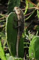 Calotes cf. versicolor, Dambulla