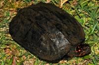 Indian black turtle (Melanochelys trijuga), Uppuveli