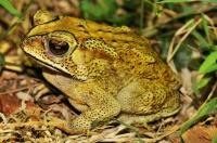 Duttaphrynus melanostictus, Uppuveli