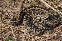 Nejohroženější had Evropy - Vipera ursinii rakosiensis