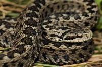 V. u. rakosiensis