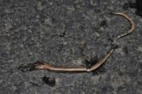 Přejetý slepýš Anguis fragilis s.l.