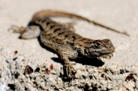 The first reptile - Western fence lizard - Yorba Linda