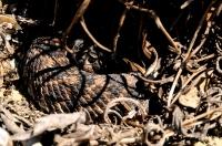 Southern Pacific Rattlesnake - Yorba Linda