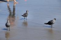 Larus heermanni, Huntington Beach