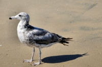 Larus heermanni, Huntington Beach