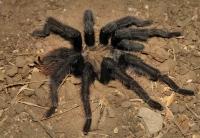 estern desert tarantula, Chino Hills
