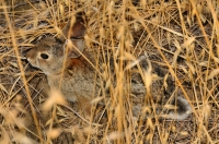 Desert cottontail, Chino Hills