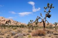 Yucca brevifolia, Joshua Tree