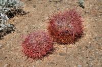Ferocactus cylindraceus, Joshua Tree NP
