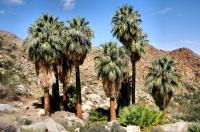 Washingtonia filifera, Fortynine Palms Oasis