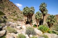 Washingtonia filifera - Fortynine Palms Oasis