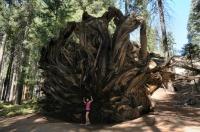Sequoiadendron giganteum - Buttress Tree