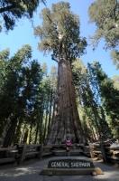 General Sherman Tree je objemově největší strom světa