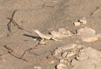 Callisaurus draconoides, Death Valley NP