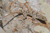 Tenuidactylus fedtschenkoi, Ilanli