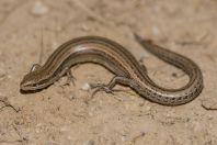 Ablepharus cf. pannonicus, Yanakishlak