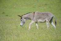 Donkey, Yanakishlak
