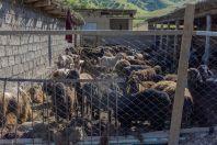 Stříhání ovcí, Yanakishlak