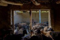 Sheep shearing, Yanakishlak