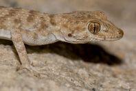 Tenuidactylus bogdanovi, Shorab