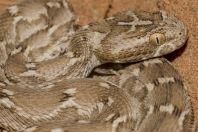 Echis carinatus, Novbur
