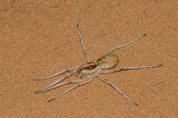 Spider, Novbur