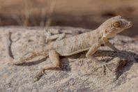 Tenuidactylus fedtschenkoi, Novbur